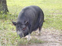 shinobi, one of the potbelly pigs on our sanctuary