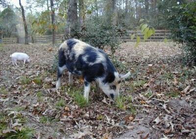 Nina - the Ossabaw Pig