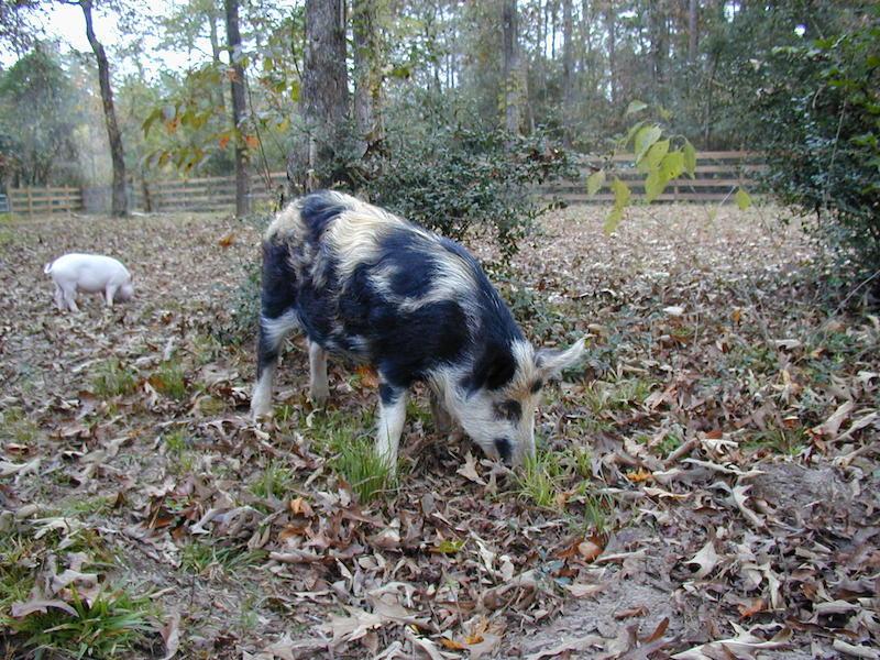 Nina, An Ossabaw Pig