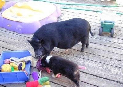 Starbuck, a Gentle Pig
