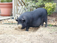 Starbuck a potbelly pig