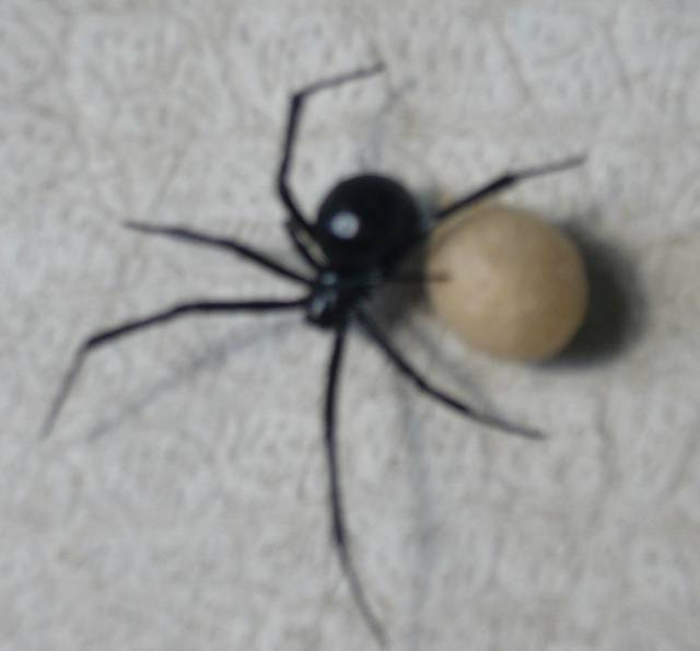 Black Widows Aren't Bad